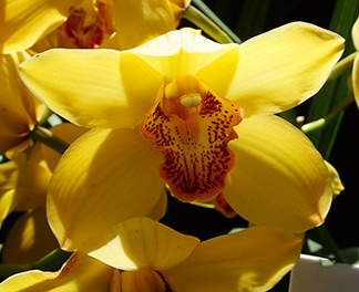 Asian Corsage Orchid Cymbidium - photo by Luxury Experience